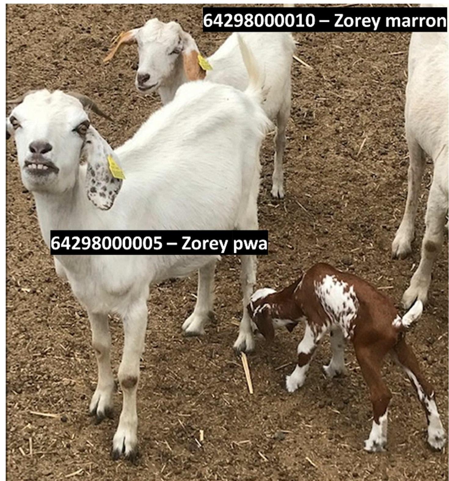 zorey pwa